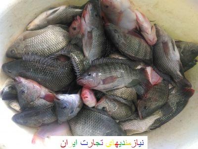 فروش ماهی تیلاپیا