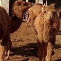 کمربند پشم شتر(دستباف)