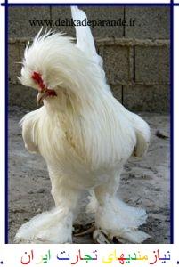 مرغ و خروس زینتی 09116074881