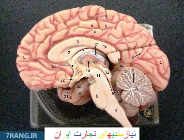 آناتومی مغز| آناتومی مغز که با هدف آموزش