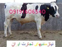 گوساله و گاو پرواری و شیری|دام چاق و سبک|فروش گوشت گوساله