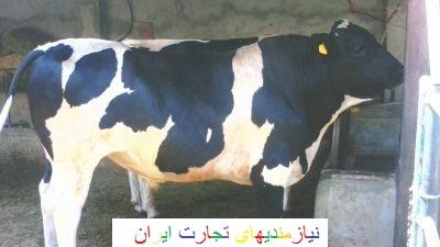 قیمت گاو گوشتی در ایران
